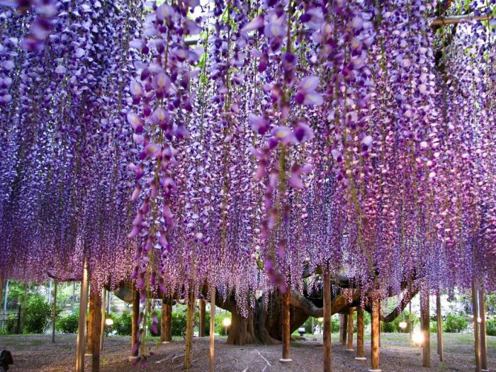 Awesomeness of Nature – Grape Clusters of Wisteria