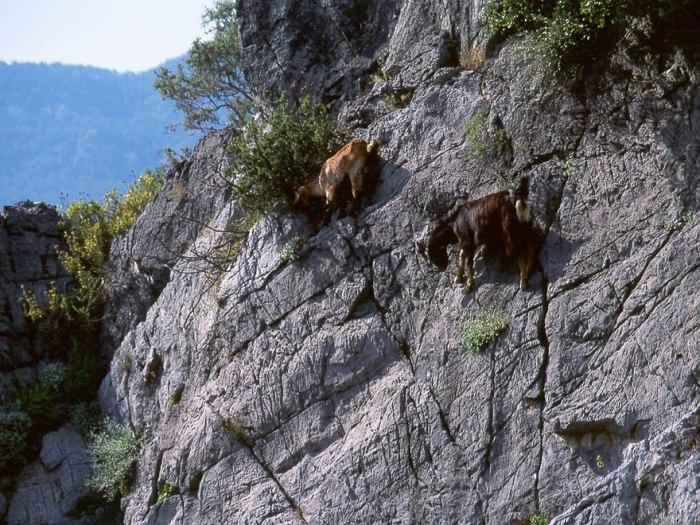 fearless-goats-_b6f474f63e00ff672d10ca2907ce2dbb