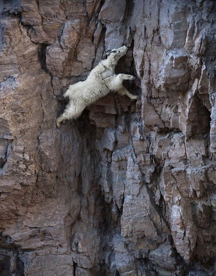 fearless-goats-_de2a24e75bedb409137b892dda77eae5