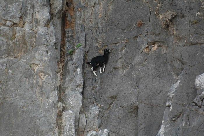 fearless-goats-_e4bdff23029807bf517e7b2a700779cf