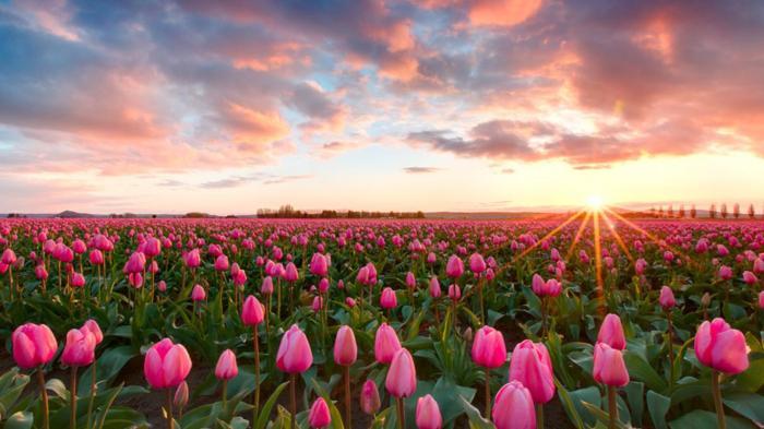 pink tulips flower sea