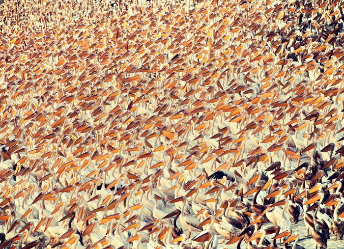 thousands of great white pelicans