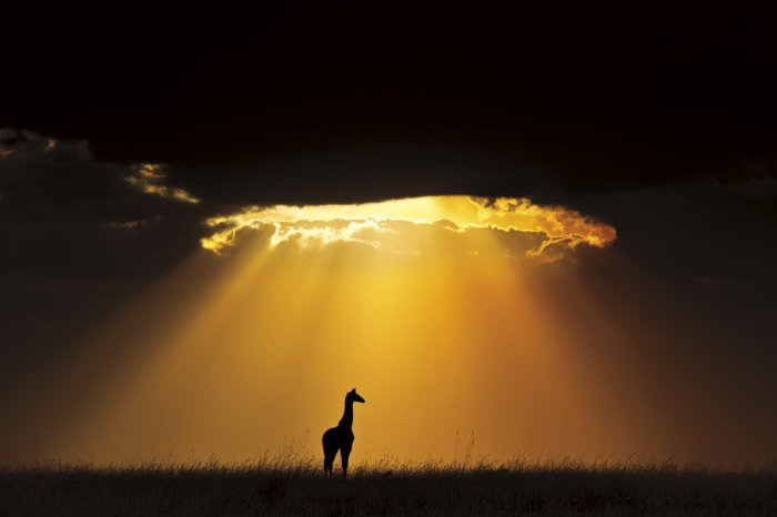 A solitary Masai giraffe is showered by light in a magnificent sun burst at Masai Mara National Reserve, Kenya