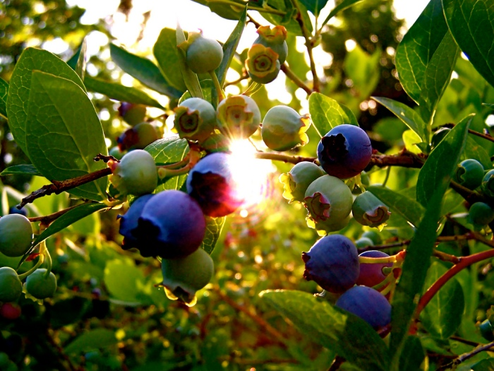 blueberry-fruit