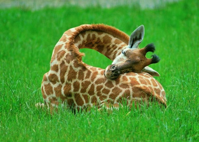 Giraffe uses own body as pillow