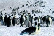 Emperor penguins colony of Riiser-Larsen