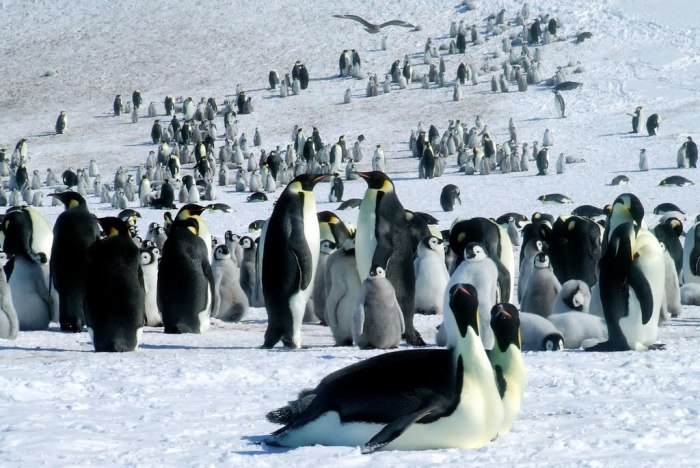 Emperor penguins colony of Riiser-Larsen