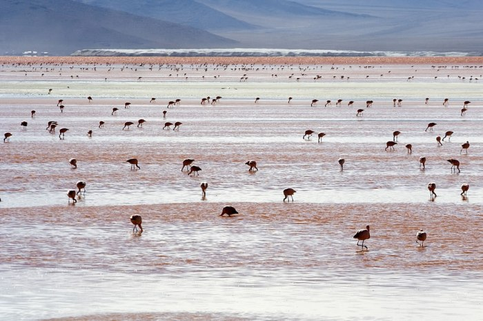 Flamingos at Laguna Colorada, Bolivia