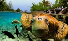 green-sea-turtle-bora-bora