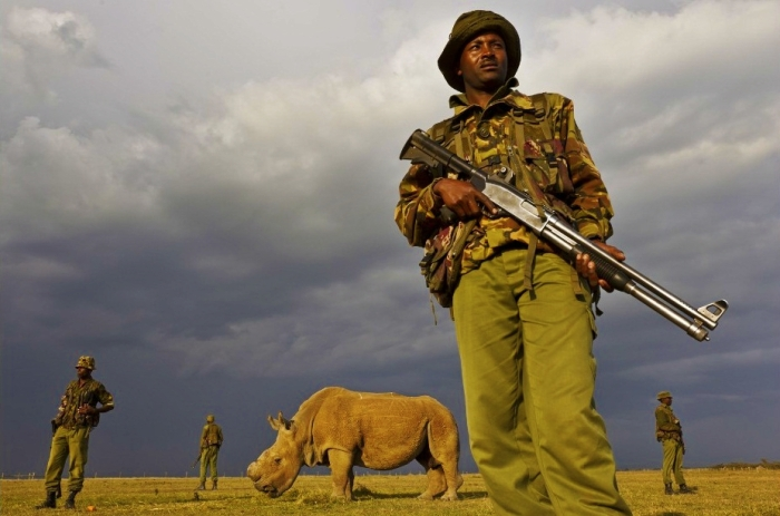 Last Remaining Northern White Rhino Male Being Guarded, Sudan