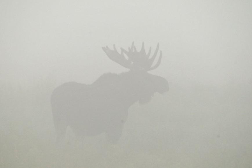 moose-fog