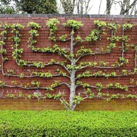 How to Grow Espalier Fruit Trees