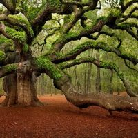 The Infernally Beautiful Angel Oak Tree in South Carolina