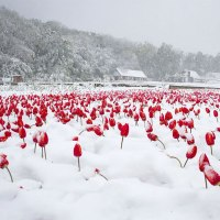 Beautiful Photos of Thousands of Tulips Under Snow